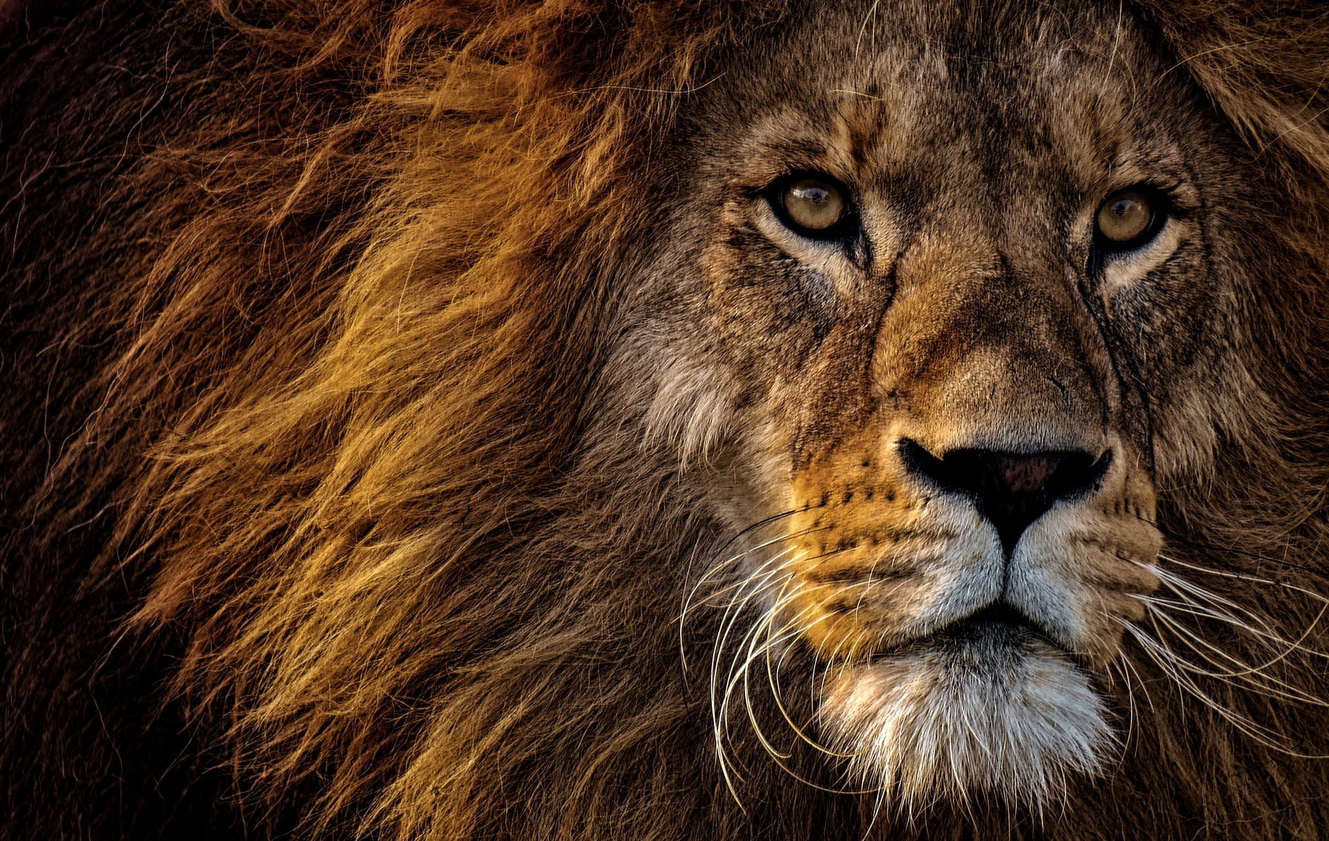 close up photo of lion s head